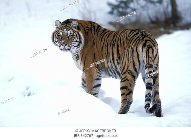 Siberian tiger (Panthera tigris altaica), adult in snow, found in Asia