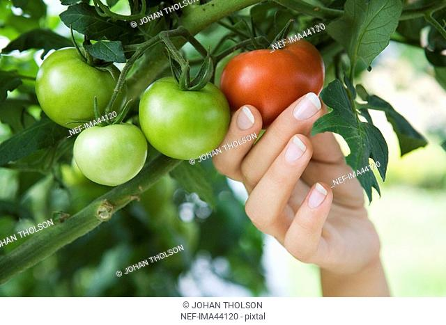A hand picking a tomato Sweden