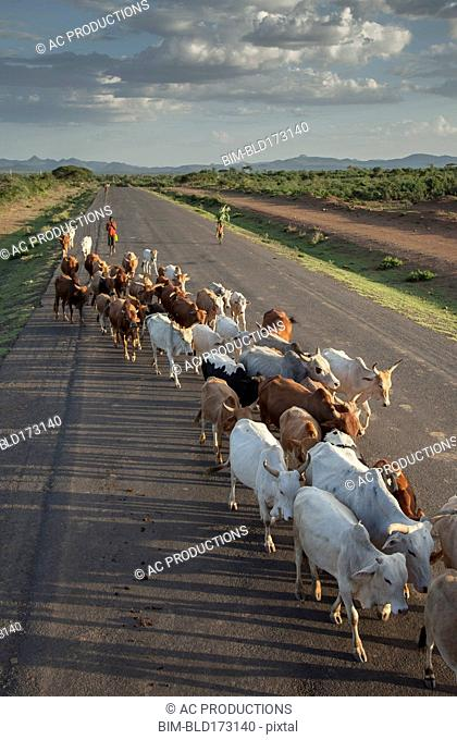 Herd of cattle walking on road