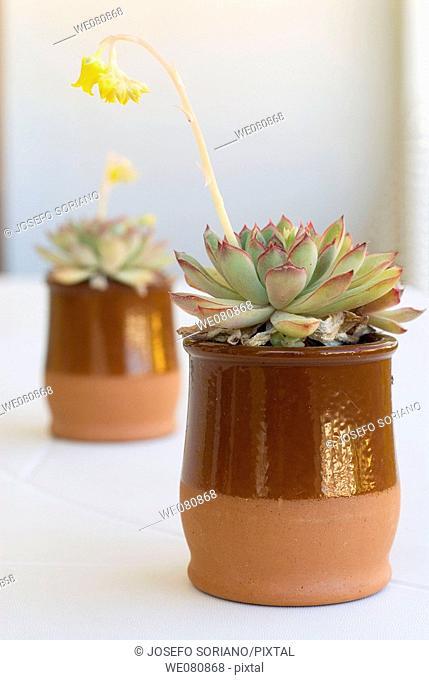Stonecrop (Sedum palmeri)