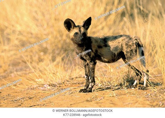 African Hunting Dog (Lycaon pictus), captive. Namibia