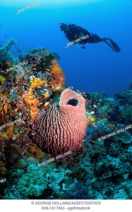 Barrel sponge Xestospongia testudinaria on coral reef with scuba diver  Komodo National Park, Indonesia