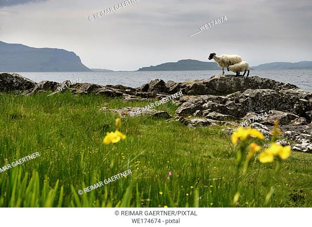 Scottish Blackface sheep mother and nursing lamb at the shore of Lach Na Keal with Eorsa Island on Isle of Mull Inner Hebrides Scotland UK