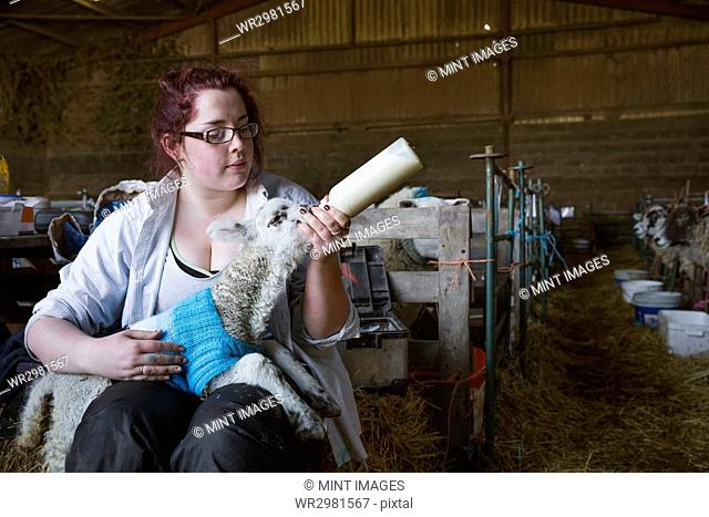Young woman sitting in a barn, feeding a newborn lamb with milk from a bottle. Lamb dressed in a knitted blue jumper