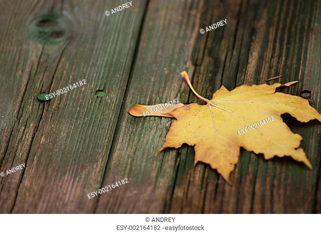 Maple autumn sheet on old boards