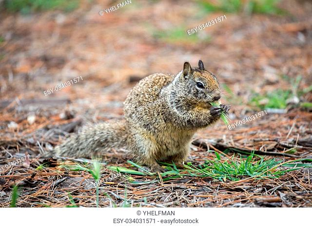 California Ground Squirrel, Otospermophilus beecheyi, eating a plant