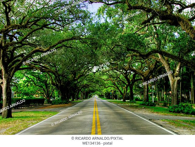 Old oak trees along Coral Way, Miami