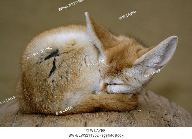 fennec fox Fennecus zerda, Vulpes zerda, sleeping