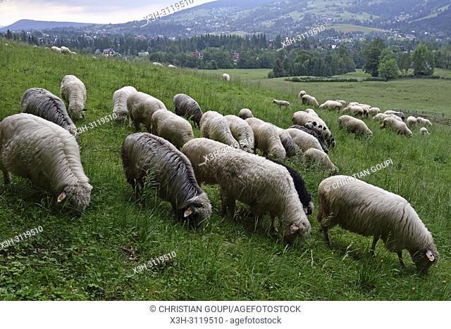 troupeau de moutons dans la campagne autour de Zakopane, region Podhale, Massif des Tatras, Province Malopolska (Petite Pologne), Pologne