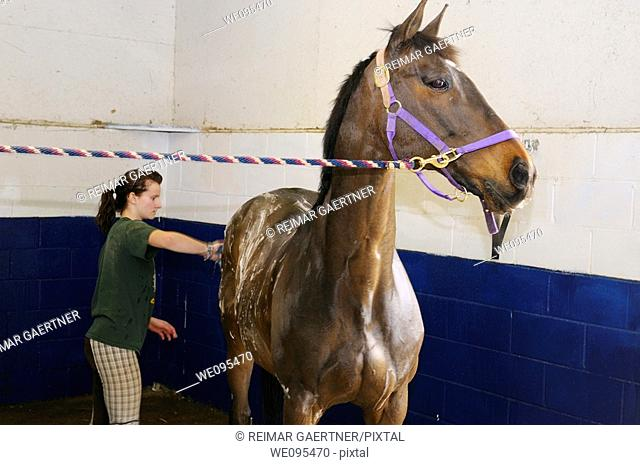 Young girl scrubbing and shampooing a horse cross tied in a shower stall