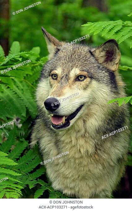 Gray wolf (Canis lupus} Captive raised adult, Minnesota Wildlife Connection, Sandstone, Minnesota, USA