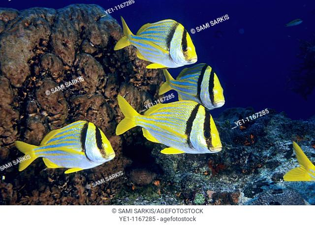 Small group of double bar bream (acanthopagrus bifasciatus) fish swimming in the Paso del Cedral reef, Cozumel Island, Mexico
