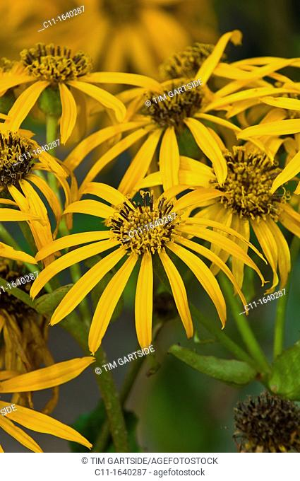 yellow rudbeckia,flowers, close up, detail of petals