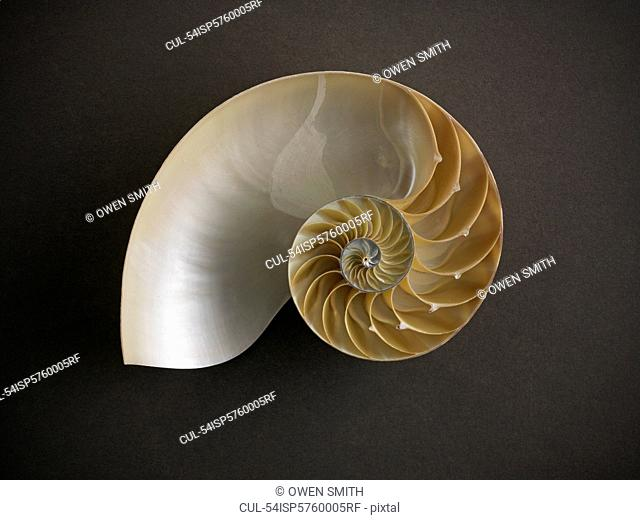 Close up of nautilus shell