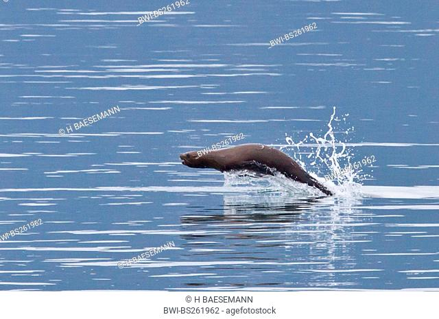 northern sea lion, Steller sea lion Eumetopias jubatus, jumping out of the water, USA, Alaska, Glacier Bay National Park