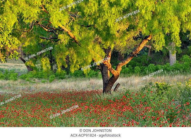Mesquite trees and flowering Indian blanket/Firewheel (Gaillardia pulchella), Turkey Bend LCRA, Texas, USA