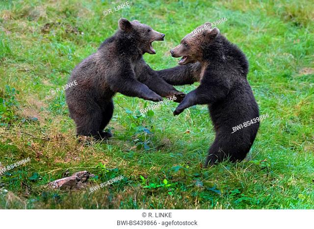 European brown bear (Ursus arctos arctos), two bear cubs tussling in a meadow, side view, Germany, Bavaria, Bavarian Forest National Park