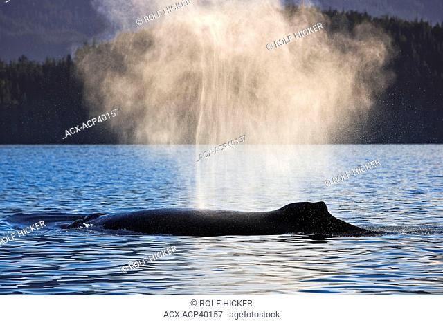 Humpback Whale Megaptera novaeangliae, Northern Vancouver Island, British Columbia, Canada