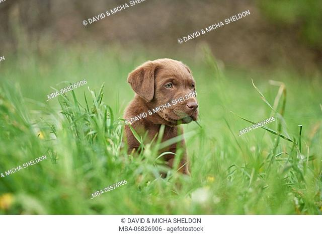 Labrador retrievers, chocolate brown, puppy, meadow, sidewise, sit