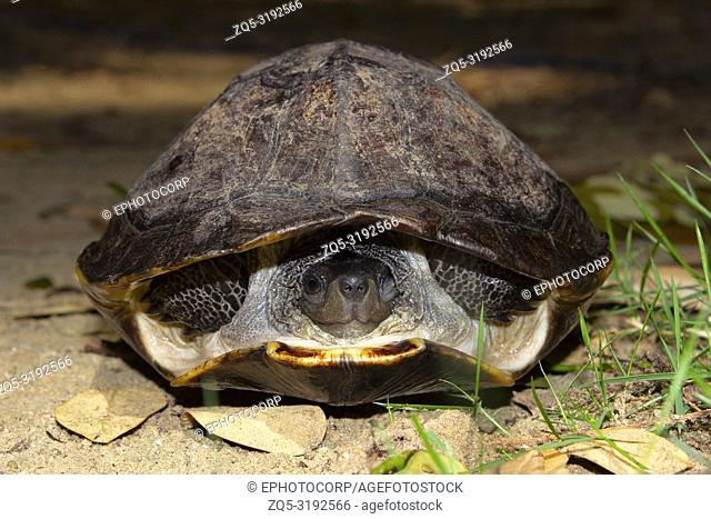 Indian black turtle, Melanochelys trijuga, Hampi, Karnataka, India. Medium-sized freshwater turtle found in South Asia