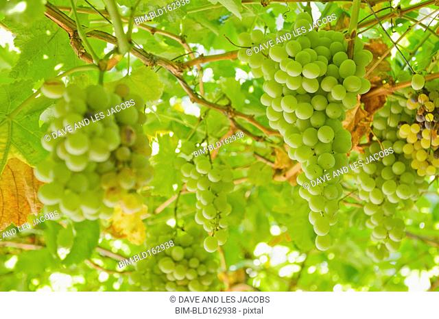 Close up of grapes growing on vines