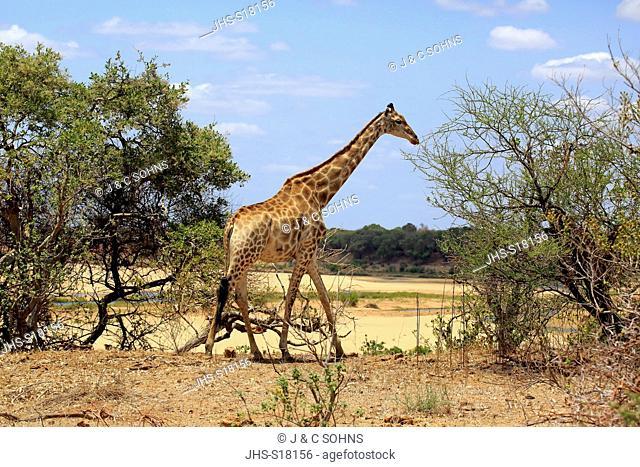Cape Giraffe, (Giraffa camelopardalis giraffa), adult, Kruger Nationalpark, South Africa, Africa