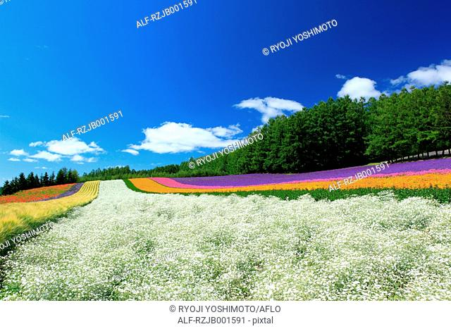 Flower fields and sky with clouds, Hokkaido