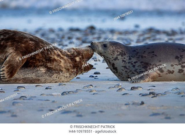 Germany, Europe, Halichoerus grypus, Helgoland, dune, island, isle, grey seal, coast, sea, marine mammal, male, nature, North Sea, pair, behavior, portrait