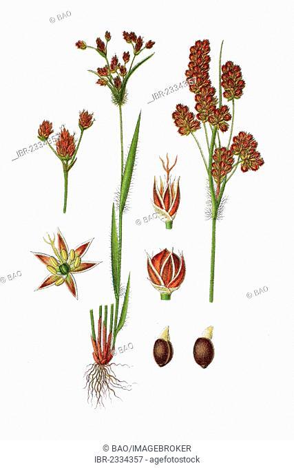 Heath wood-rush (Luzula multiflora), medicinal plant, historical chromolithography, 1796