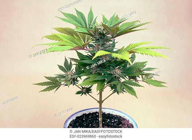Cannabis female plant in flowerpot, Indica dominant hybrid in flowering phase