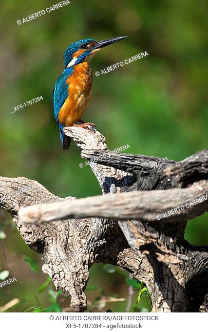 Kingfisher, Alcedo athis,Tajo River, Monfragüe National Park, SPA, ZEPA, Biosphere Reserve, Cáceres Province, Extremadura, Spain, Europe