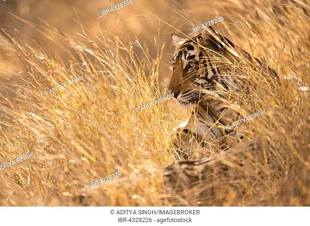Wild Bengal Tiger (Panthera tigris tigris) lying down, looking out of golden grass in the dry forests, Ranthambhore National Park, India