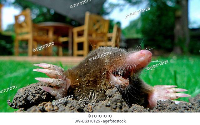 European mole (Talpa europaea), looking out of a molehill, garden chairs in background, Germany