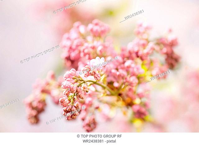 Zoomed purple Syringa vulgaris or lilac buds on stem and blurred background, bunch of beautiful flowers growing in garden in Poland