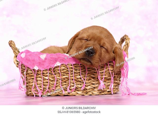 Labrador Retriever. Puppy (6 weeks old) sleeping in a basket. Studio picture seen against a pink background. Germany