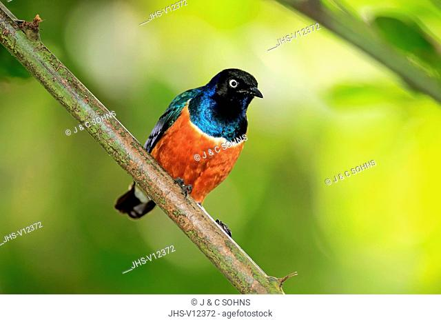 Superb Starling, (Lamprospreo superbus), adult on branch, Africa