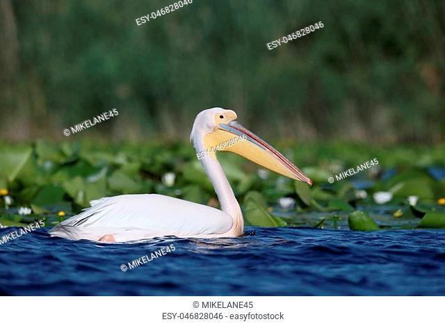 Great white-pelican, Pelecanus onocrotalus, Single bird in water, Romania, June 2016
