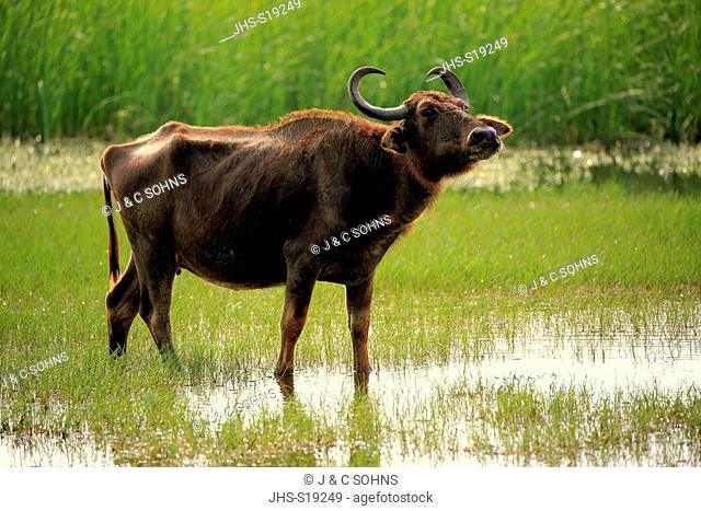 Water Buffalo, (Bubalis bubalis), adult female in water, Bundala Nationalpark, Sri Lanka, Asia