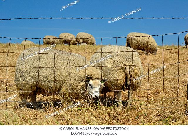 Sheep behind fence, grazing in a field in Zeeland, the Netherlands