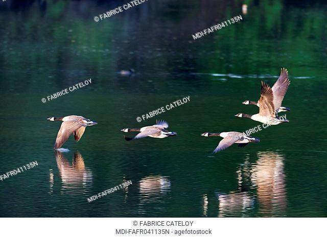 Nature - Fauna - Bird - Canada gooses in flight at dusk