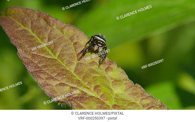 A male Brilliant Jumper (Phidippus clarus) jumping spider moves about on a leaf