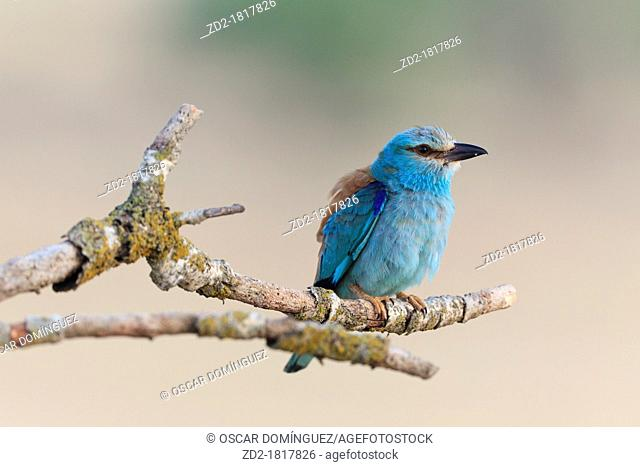 European Roller Coracias garrulus perched on branch  Lleida  Catalonia  Spain