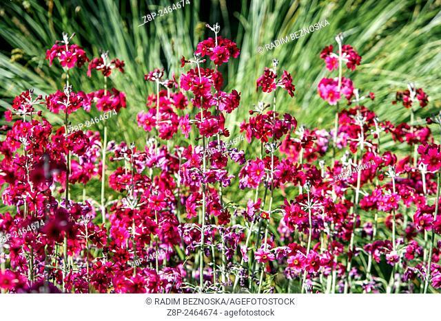 Primrose, Primula japonica