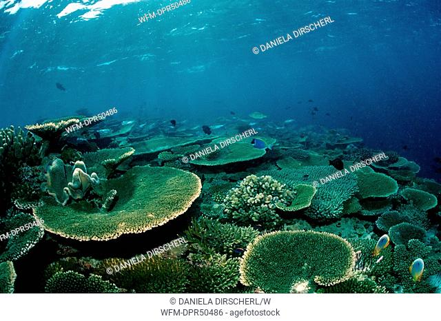 Table Corals on Reef Top, Acropora, Ellaidhoo House Reef, Ari Atoll, Maldives