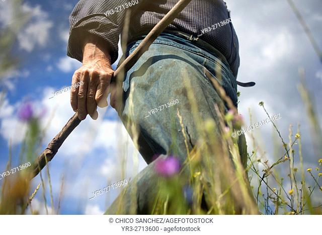 Diego Sanchez, a small farmer, looks for wild asparagus in a prairie in Prado del Rey, Cadiz, Andalusia, Spain. Sanchez produces in his farm vegetables and...