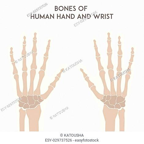 Bones of human hand and wrist. Medically accurate vector minimal illustration for web or print. Unlabeled