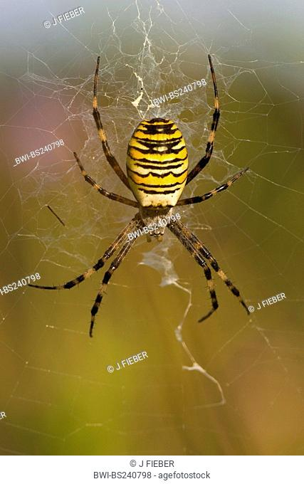 black-and-yellow argiope, black-and-yellow garden spider Argiope bruennichi, sitting in the middle of its net, Germany, Rhineland-Palatinate