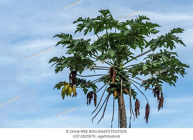 Papaya Tree, Kampung Gumbang, Bau, Sarawak, Malaysia