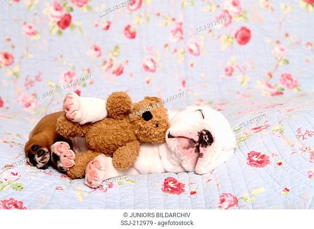 English Bulldog. Puppy (7 weeks old) sleeping on a blue blanket with rose flower print while embracing a Teddy bear. Germany