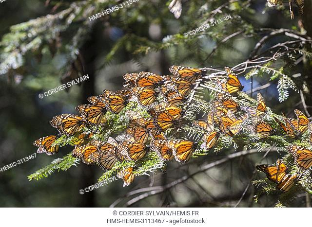 Mexico, State of Michoacan, Angangueo, Monarch Butterfly Biosphere Reserve El Rosario, monarch butterfly (Danaus plexippus)